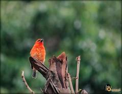 cardinale (GMGprod') Tags: bird birds oiseaux bygmgprod iledelareunion 974island faune naturaleza nature red macrophotography grosplan free photography oceanindien animaux animal cardinale