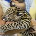 Ocelot Gamboa Wildlife Rescue pandemonio 2017 - 04