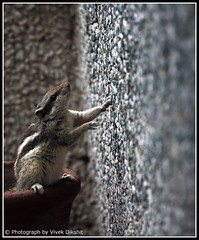 Checking Heights (Vivek Dikshit) Tags: india wall indore heights squirell canon1000d vivekdikshit
