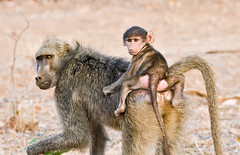 Hitching a Ride... (Marc_Scott-Parkin) Tags: baboon kruger specanimal