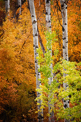 Aspen Trees (EdBob) Tags: autumn usa color tree fall nature leaves america forest coast washington flora pacific northwest winthrop country hills coastal pacificnorthwest aspen washingtonstate aspentrees easternwashington 5photosaday colorphotoaward edmundlowe edlowe edmundlowe allmyphotographsarecopyrightedandallrightsreservednoneofthesephotosmaybereproducedandorusedinanyformofpublicationprintortheinternetwithoutmywrittenpermission edmundlowephotography edmundlowestudiosinc