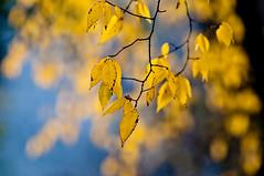 Yellow Leaf Hang no.1 (Orbmiser) Tags: fall leaves yellow oregon portland nikon d90 80200f28 80200f28afd tamron14x