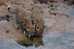 YOUNG SIBLINGS DRINKING AT THE TALEK RIVER (Gill Storr) Tags: kenya wildlife olive leopard cubs bigcats masaimara leopards bigcatdiary talekriver leopardcubs