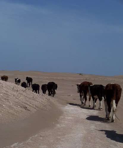 Cows in the Desert by katiemetz, on Flickr