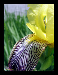 Iris ( Annieta  Off / On) Tags: annieta juni juin june 2009 valtournenche valledaosta aosta itali italia italy holiday vakantie vacances canon powershot s2is canonpowershots2is nature natuur ilovenature kleur color colori farbe couleurflower fleur fiori bloem blum iris geel paars 4mazingorgeoushotsoflowers beautifulexpression friends beautiful pictureperfect perfectpetals valledaosta aostavalley piemonte valdaosta allrightsreserved usingthisphotowithoutpermissionisillegal