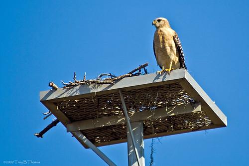 20090215_Hawk