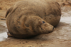 IMG_2014 (John Conlin) Tags: seal greyseal donnanook canoneos1000d