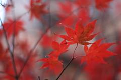 the last of the leaves (jodi*mckee) Tags: autumn fall momiji japanesemaple almostwinter aki