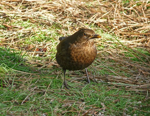 11817 - Female Blackbird at WWT Llanelli