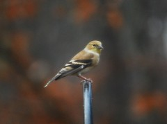 Winter Goldfinch (jm1117) Tags: