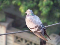 Indian Pigeon in Mumbai
