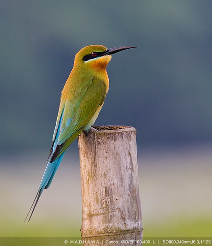 Blue Tailed Bee Eater Sri Lanka Blue-tailed Bee-eater Merops