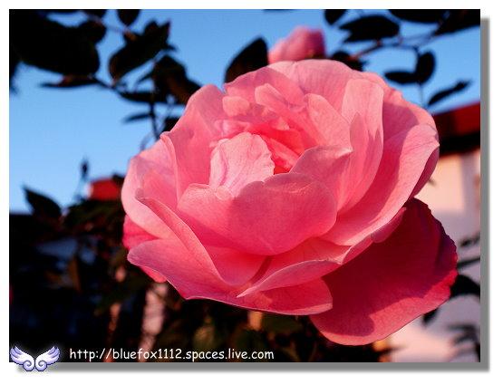 100109淡水04_夕陽玫瑰