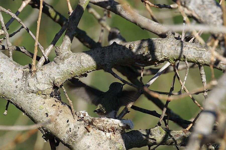 Anna's Hummingbird fledgling 091-4