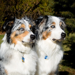 Father and Son ([ lee ]) Tags: portrait dog dallas aussie pacifico leejeffryes thesetwoareturningouttobequitetheteam