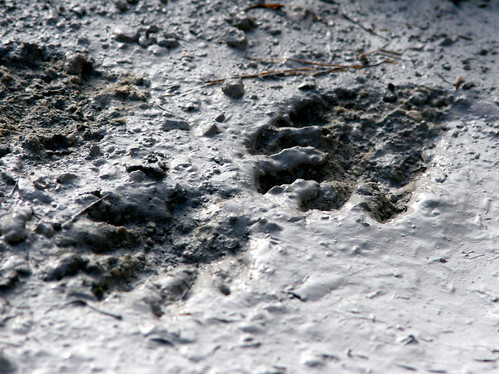 Raccoon Tracks 20100118