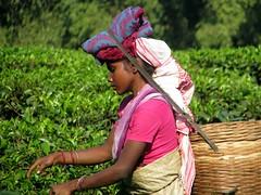 Tea picking lady (Linda DV) Tags: people woman india canon geotagged tea fields assam 2008 sevensisters teafields 7sisters northeastindia teapicking powershots5is lindadevolder