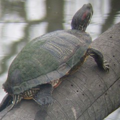 red-eared slider turtle 2