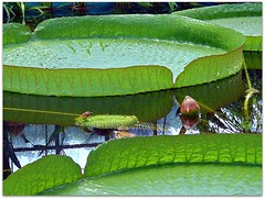 Giant Amazon Water Lily (CameliaTWU) Tags: flower pool leaves amazon waterlily romania transylvania clujnapoca waterreflection hugeleaves victoriaamazonica blueribbonwinner leafstalks leafprimordia circularleaved loralbuds