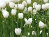 tulipani e stelo morbido