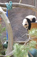 Yun Zi: Ok it is now or never... (Rita Petita) Tags: china california cub panda sandiego giantpanda sandiegozoo baiyun pandas pandacub yunzi