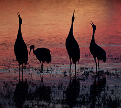 Sometimes we've got to sing this song... (jimf_29605) Tags: newmexico olympus zuiko bosquedelapache sandhillcranes e510 zd 50200 mywinners