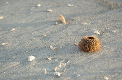 urchin! (googlit) Tags: sea beach dead spiky sand marine florida shell shore spike spines urchin spiny seaurchin echinoidea