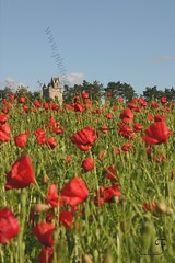 Poppies in field close to Ulster Tower