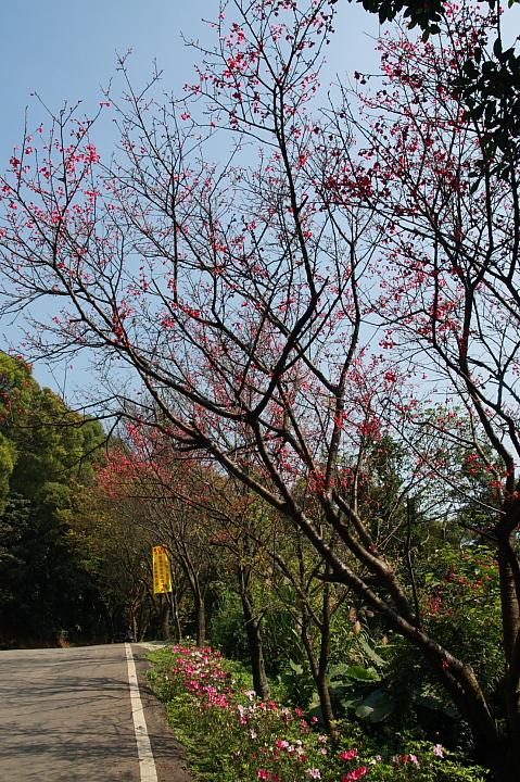樹林大同山青龍嶺的櫻花林0004