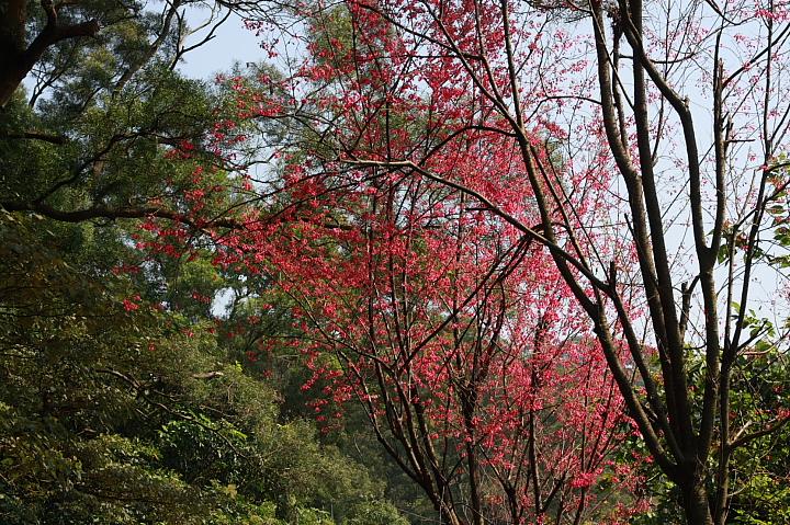 樹林大同山青龍嶺的櫻花林0022