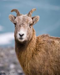 little Bighorn... (Mac Danzig Photography) Tags: canada mountains nature big sheep wildlife rocky bighorn horn tnc11