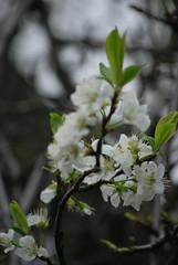 Plum Blossoms (Sandy Dhar) Tags: sfo plumblossoms