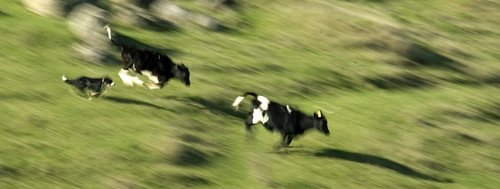 Cloudy the Border Collie Herding Cattle