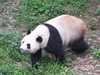 Our first Panda wandering around. …