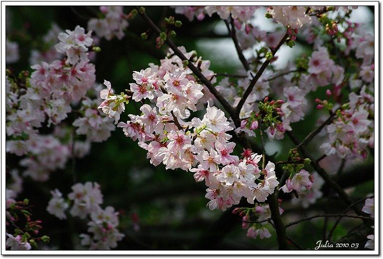 天元宮,櫻花 (18)