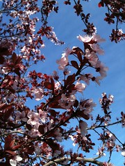 Flowering Plum, getting its new leaves in March (vandekar) Tags: flowers spring plum livermore iphone floweringplum