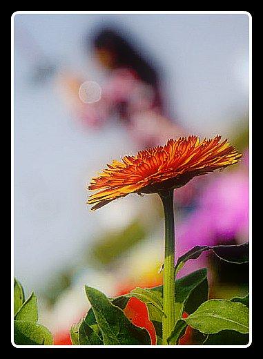 Noida flower Show