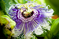Passion flower with bee (Tcottrell) Tags: macro nikon bee tamron 90mm d90 naturepeople flowersarebeautiful flickrsportal