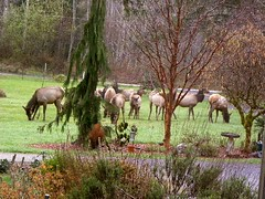 Frontyard (jkeenan501) Tags: morning oregon eating elk herd grazing