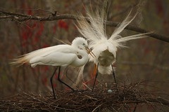 """Mom, dad and baby to be (""""the sis"""") Tags: heron charleston charlestonsc egret greategret rookery herons egrets greategrets magnoliaplantation charlestonsouthcarolina audobonswampgarden"""