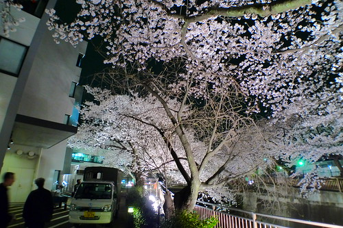 Traversing past cherry blossom trees