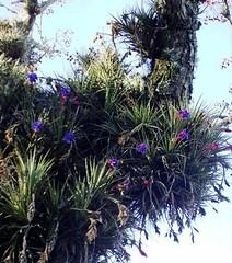 ......FLOR  DA  QUINTA...... (beteamodeo) Tags: natureza flor rosa aconchego árvore roxo colorida lilás galho comum parasita enfeita