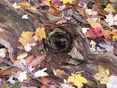 Who is that looking at me? (Laramie_Coyote) Tags: wood autumn tree fall nature leaves potofgold autumnfall rottedtree citrit naturespotofgold printedalready pogchallengewinners holycreationsofnature rainbowelite