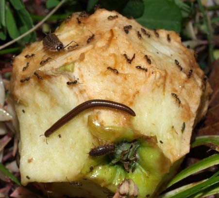 Apple&Invertebrates3