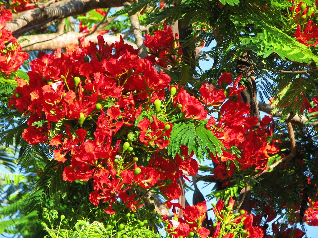 Delonix Regia (Flamboyant Tree) (tanetahi) Tags: Tropicalflowers  Tropicalfloweringtrees Mareeba Northqueensland Australia