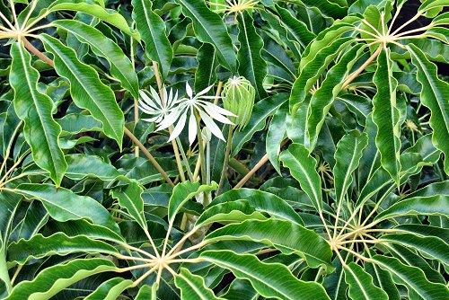 Schefflera pueckleri (rq) - 01