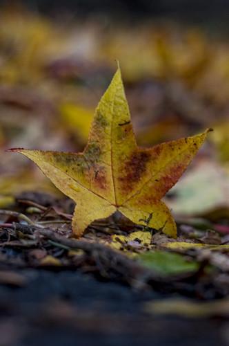 starfish leaf