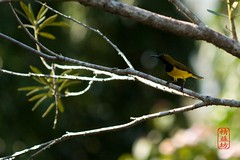 Sunbird (Yih Siang) Tags: bird wildlife sunbird