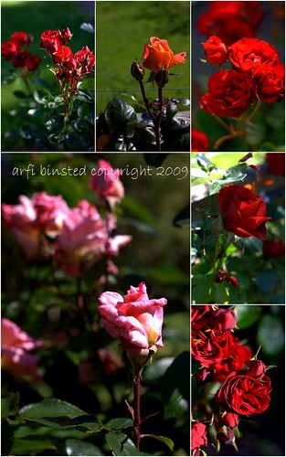 my roses collection