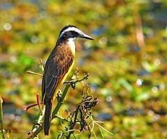 Bem-te-vizinho-do-brejo - Brazilian Pantanal - 8760 (zafonso) Tags: flowers brazil flores nature birds animals brasil landscapes natureza aves animais paisagens nikond300 sigma150500mmos